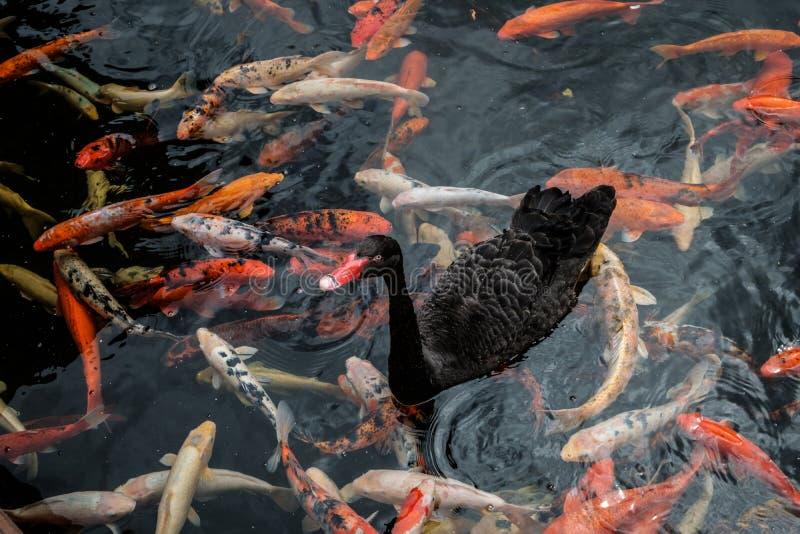 Schwimmen der schwarzen Ente auf Teich mit goldenen Karpfenfischen - stockfotografie