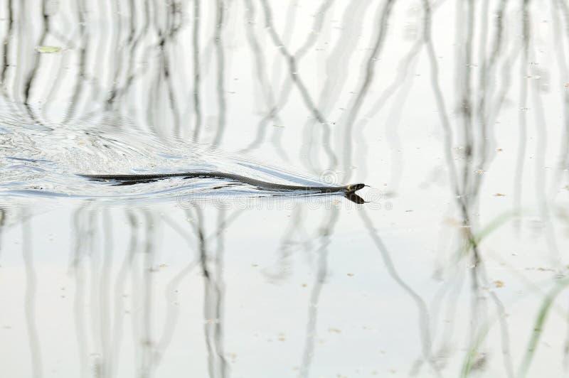 Schwimmen der Wasser-Schlange-(Natrix) auf dem Wasser lizenzfreie stockbilder