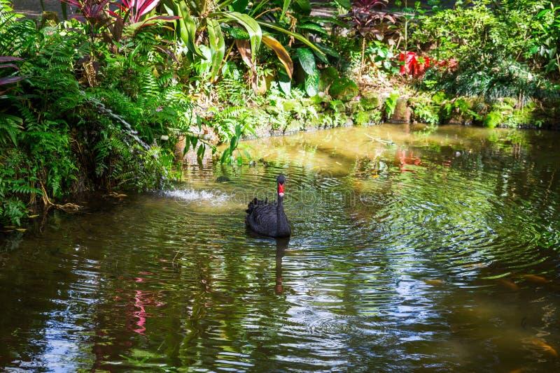 Schwimmen des schwarzen Schwans in einem Teich im Park stockbilder