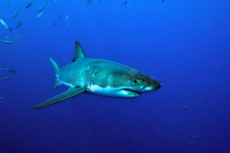 Schwimmen des weißen Hais lizenzfreie stockfotografie