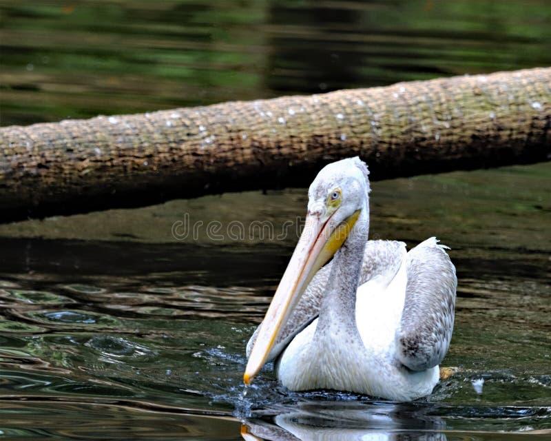 Schwimmen des weißen Pelikans im Fluss lizenzfreie stockfotos