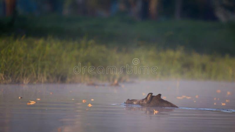 Schwimmen des wilden Ebers im Wasser lizenzfreies stockbild