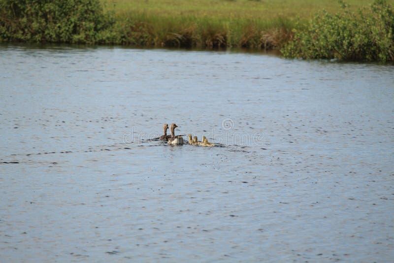 Schwimmen Duck Family lizenzfreie stockbilder