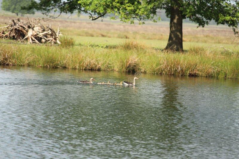 Schwimmen Duck Family stockfotografie