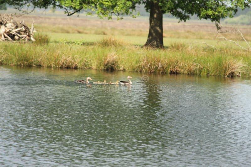 Schwimmen Duck Family stockfoto