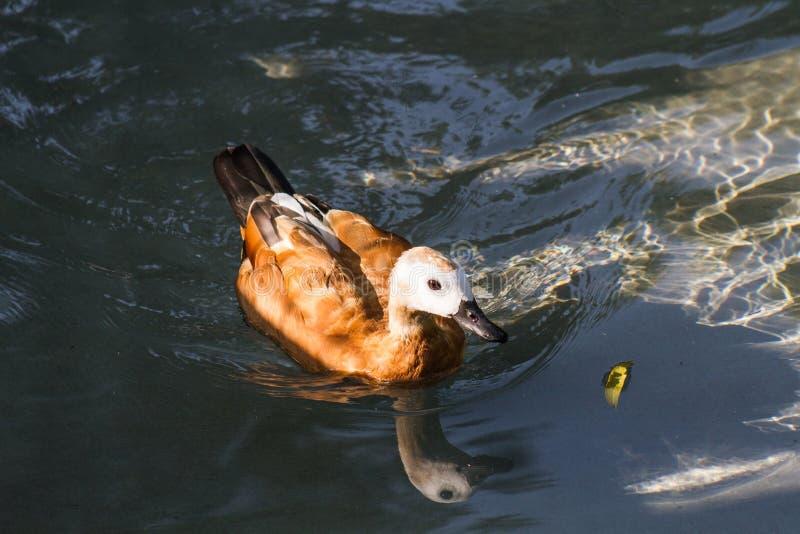 Schwimmen in einem haarscharfen Wasser stockbilder