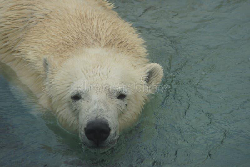 Schwimmen-Eisbär lizenzfreie stockfotos