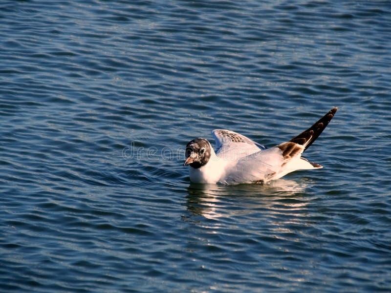 Schwimmen-Ente stockfotos