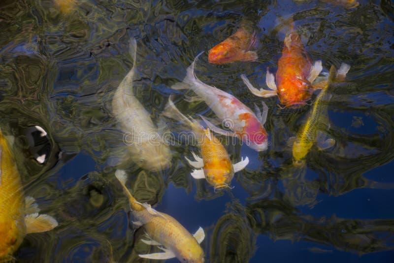 Schwimmen fantastischer Karpfen oder Koi-Fische in Wasserteich im Garten des chinesischen Gartens stockbilder
