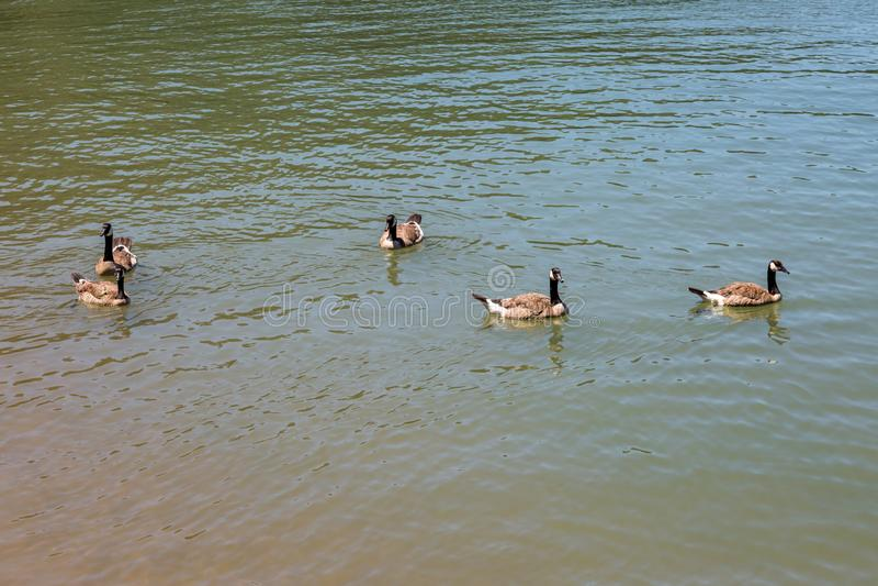 Schwimmen-Gänse stockbild
