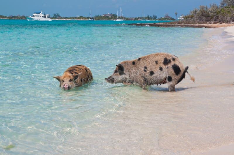 Schwimmen-Insel-Schweine lizenzfreie stockbilder