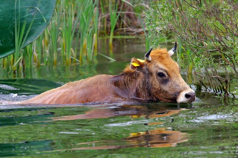 Schwimmen-Kuh lizenzfreies stockfoto