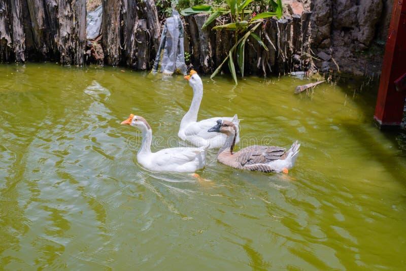 Schwimmen mit drei Gänsen im Teich lizenzfreie stockfotos