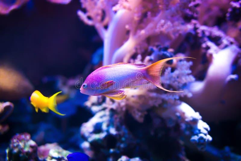Schwimmen mit zwei Meer-goldie Fischen auf rosa korallenrotem Hintergrund stockfotos