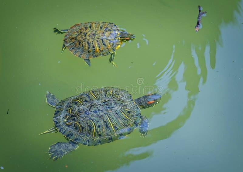 Schwimmen mit zwei Schildkröten im grünen Teich stockbild