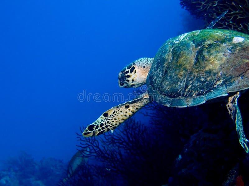 Schwimmen-Schildkröte stockfotografie