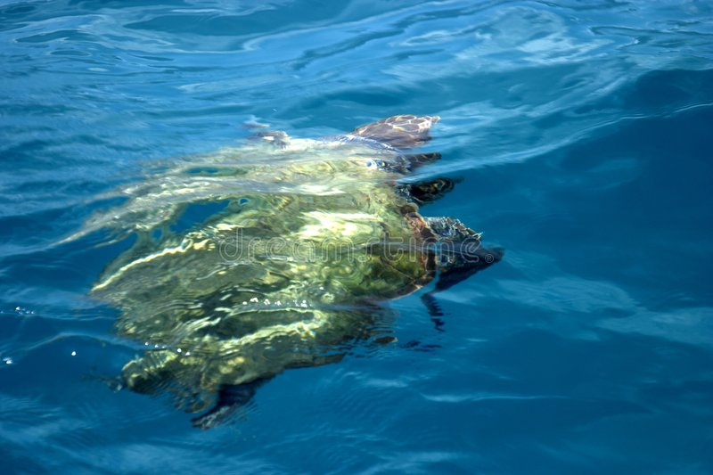 Schwimmen-Schildkröte lizenzfreies stockfoto