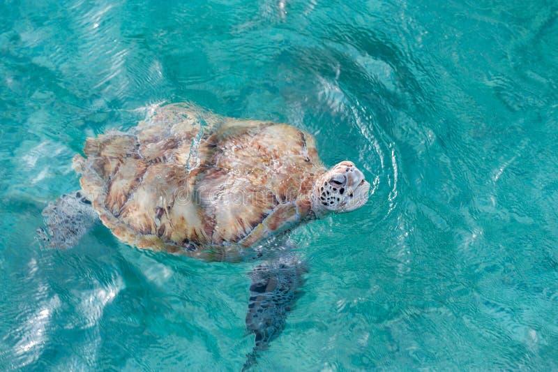 Schwimmen-Schildkröte im Wasser Miami Beach in Barbados stockbilder