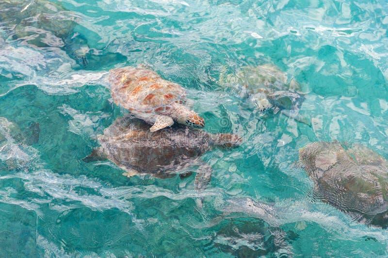 Schwimmen-Schildkröten im Wasser Miami Beach in Barbados lizenzfreie stockfotos