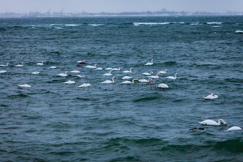 Schwimmen-Schwäne stockfoto