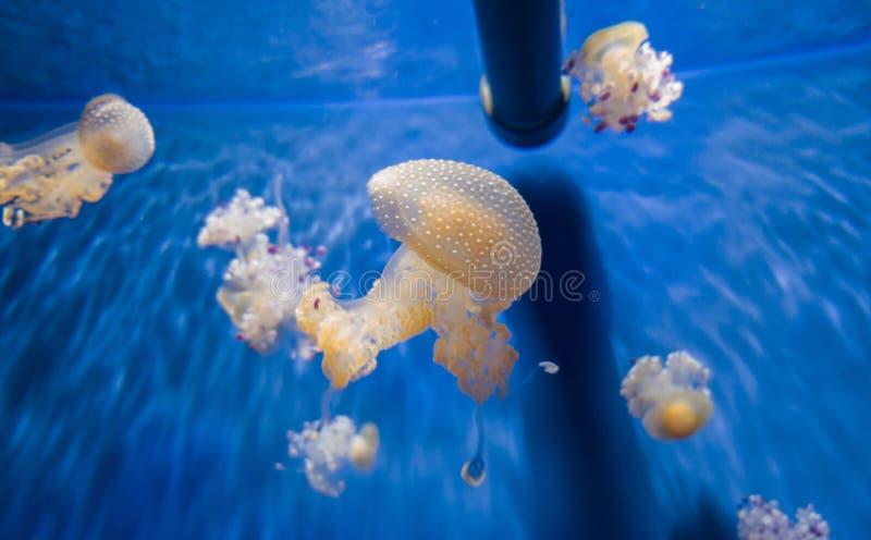 Schwimmen vieler Quallen im Aquarium nahe dem Rohr lizenzfreie stockbilder