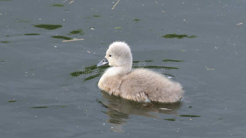 Schwimmen von Mute-Swan-Cygnet lizenzfreies stockfoto