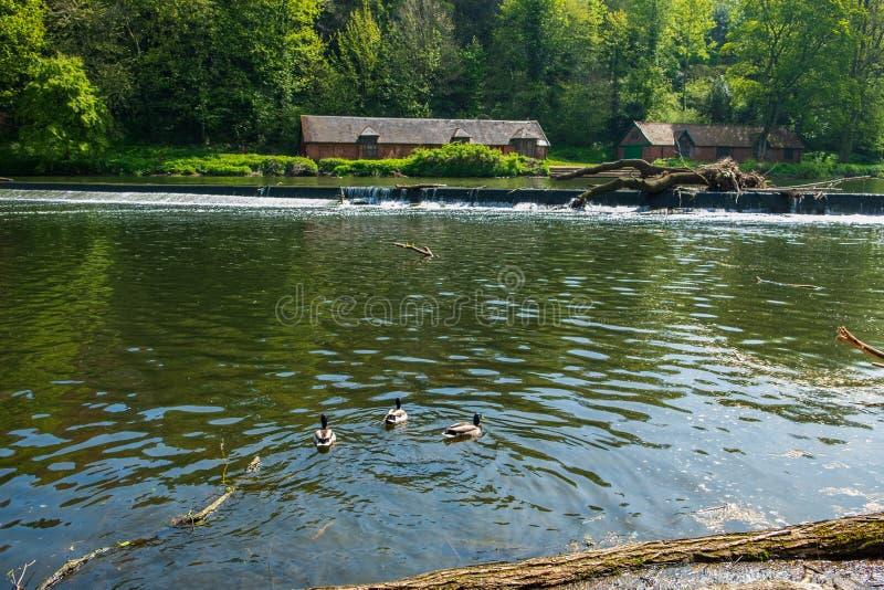 Schwimmende Enten in der Fluss-Abnutzung und traditionelle Gebäude in Durham, Großbritannien lizenzfreies stockfoto