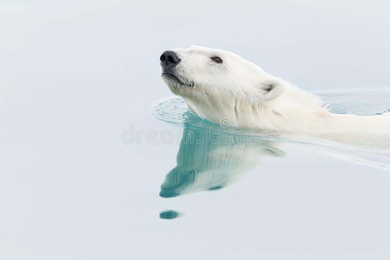 Schwimmender Eisbär lizenzfreie stockbilder