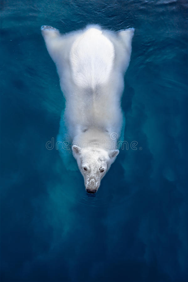 Schwimmeneisbär, weißer Bär im blauen Wasser lizenzfreie stockfotos