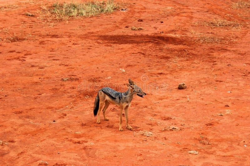 Sciacallo sul safari immagine stock