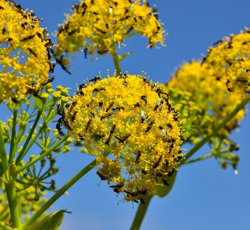 Sciame degli insetti sui fiori di finocchio fotografia stock