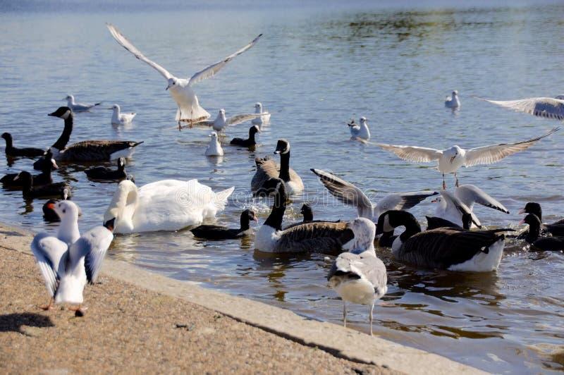 Sciame del cigno, Serpentine Lake, Hyde Park London fotografie stock