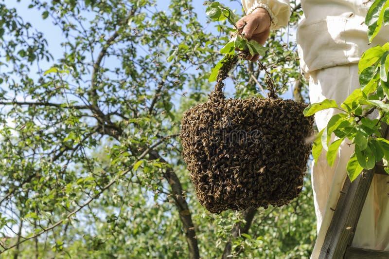 Sciame dell'ape e dell'apicoltore fotografia stock libera da diritti