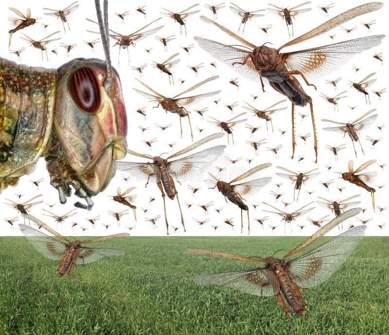 Sciame della locusta migratore fotografie stock libere da diritti