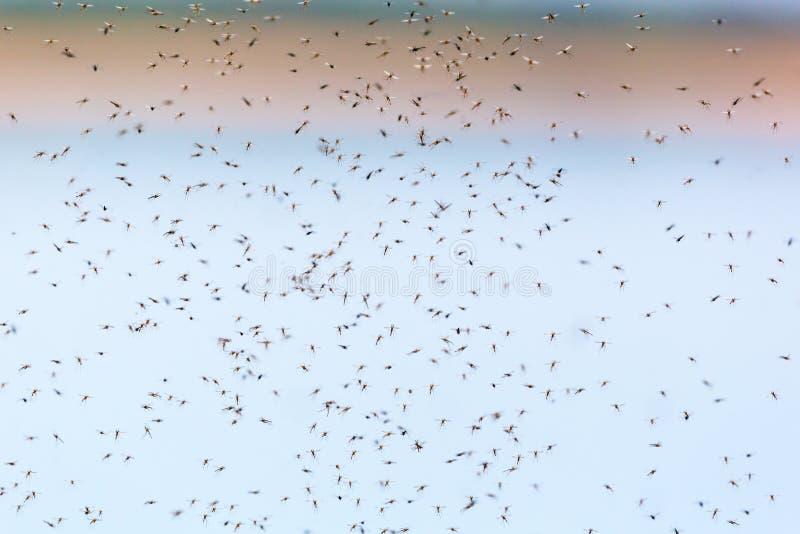Sciame delle zanzare fotografia stock libera da diritti