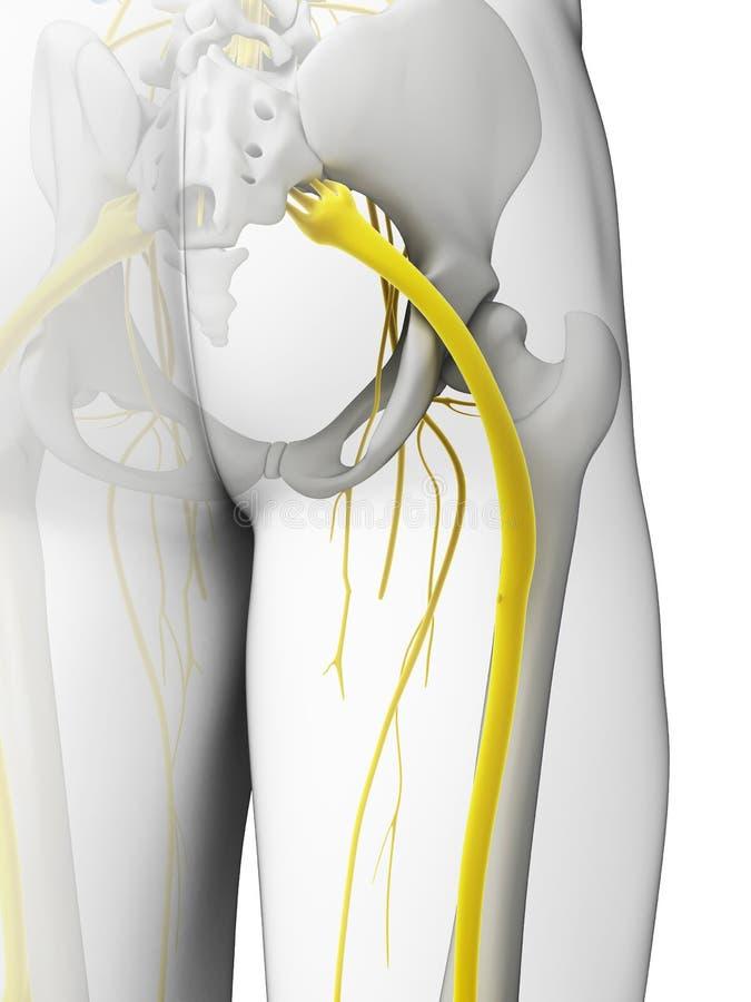 Sciatic нерв бесплатная иллюстрация