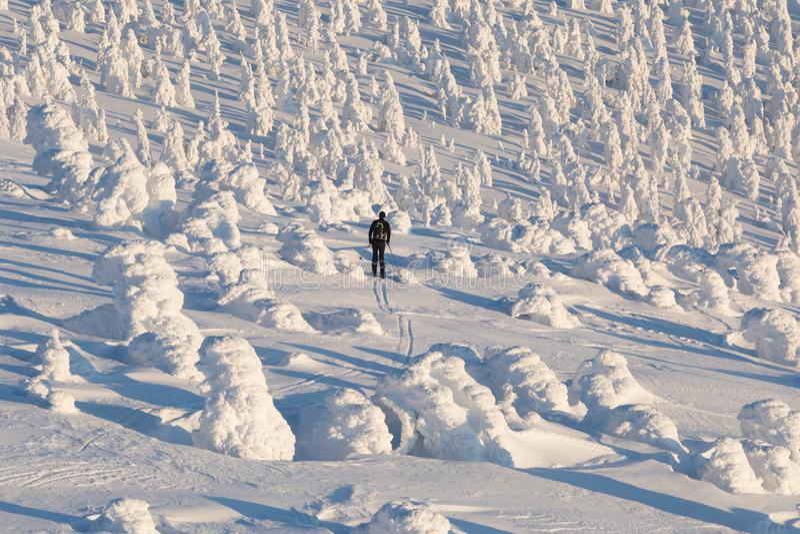 Sciatore remoto che va su verso una foresta innevata dell'albero di Natale su un bello sciatore di giorno soleggiato che scia in  fotografie stock libere da diritti
