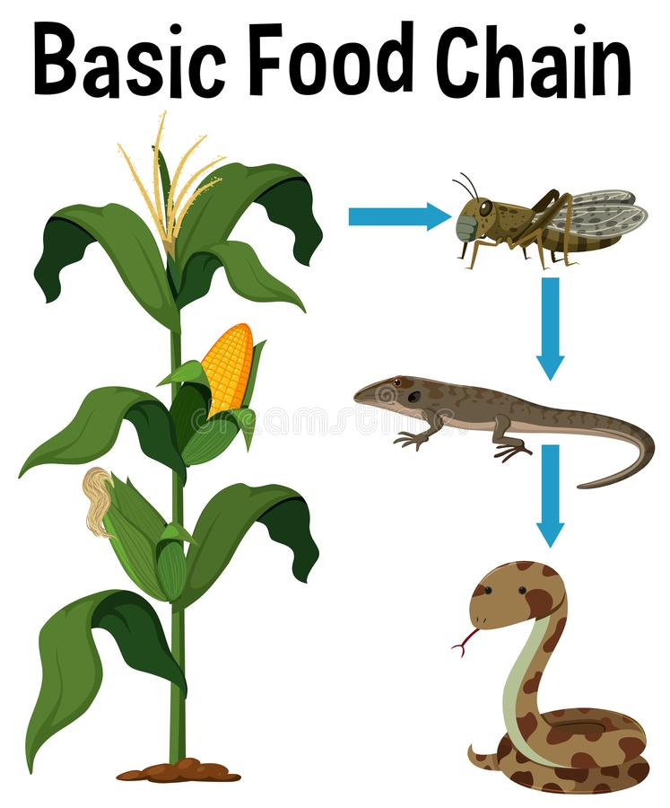 Science Basic Food Chain royalty free illustration