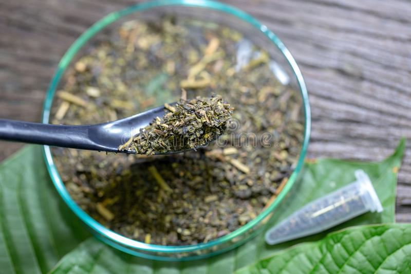 Science Research leaves of Mitragyna speciosa kratom and Chemical analysis in Lab. stock image