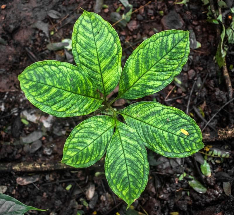Scientific Name is Arisaema Tortuosum of neglectum variety. Common garden herb or plant in vegetative stage with pattern on leaves stock photos