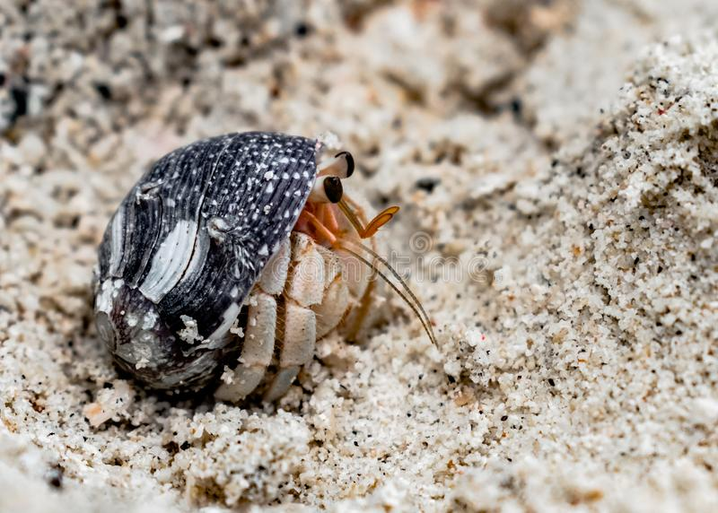 Coenobita rugosus, a Crustacean known as Hermit Crab, peeping from shell, to observe surroundings through flagellum and antennae. royalty free stock photos