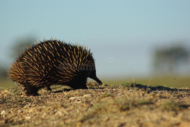 Short beaked echidna, going for a stroll royalty free stock image