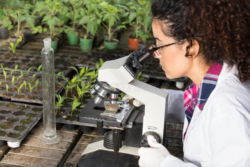 Scientifique regardant le microscope en serre chaude photos libres de droits