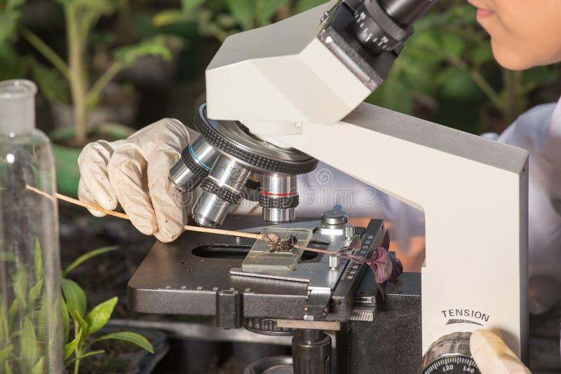 Scientifique regardant le microscope en serre chaude image libre de droits