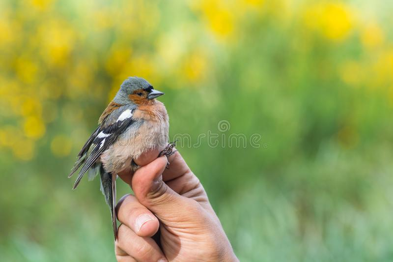 Scientifique tenant les coelebs communs d'un Fringilla de pinson dans une bande d'oiseau/sonnant la session photos stock