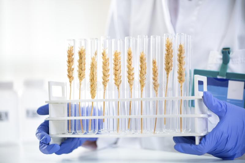 Scientist checking sample of wheat at tubes, doing contol about stock photo