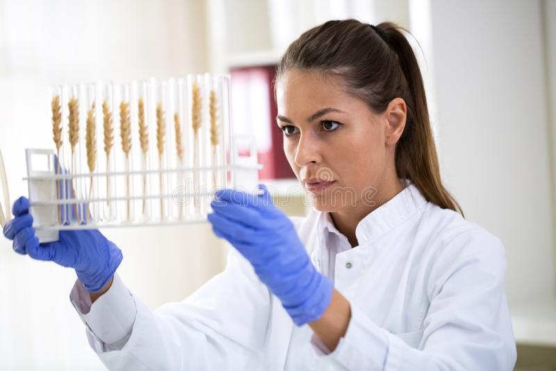 Scientist checking sample of wheat at tubes royalty free stock photos