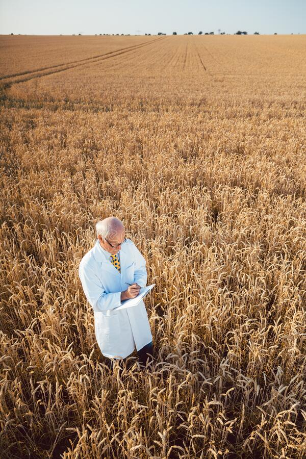 Scientist doing field test of new GMO grain for better yield stock image