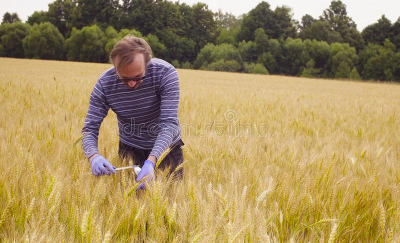 Scientist ecologist exploring wheat. He is measuring wheat ear royalty free stock photography