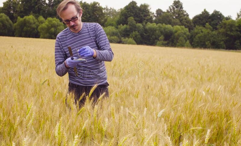 Scientist ecologist exploring wheat. He is taking samples of grain stock photography
